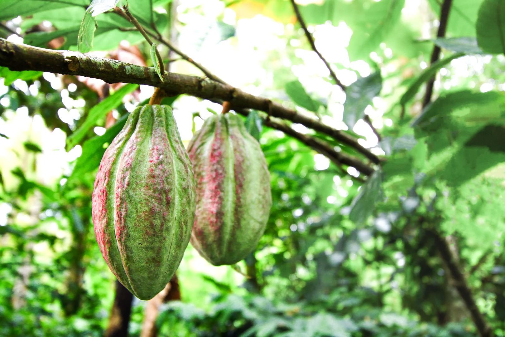 1900 v.Chr. – De eerste cacaobonen
